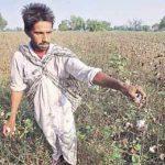 уборка хлопка в Индии