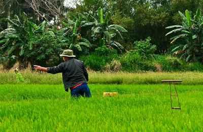 соленоустойчивый рис