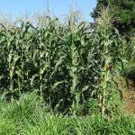 Посевы push-pull в Африке