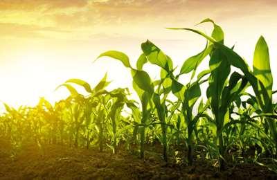 солнце освещает кукурузу