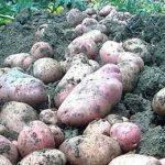несобранный картофель