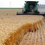 комбайн косит пшеницу