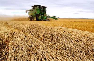 пшеница из Канады