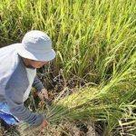 мужчина собирает рис