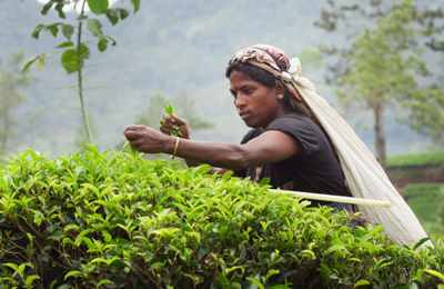 в Шри-Ланке собирают чай