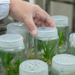 исследование кукурузы в лаборатории