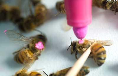 помечают пчел