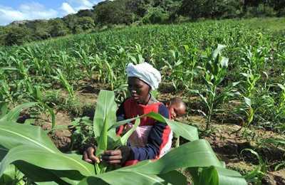 африканка на поле с кукурузой