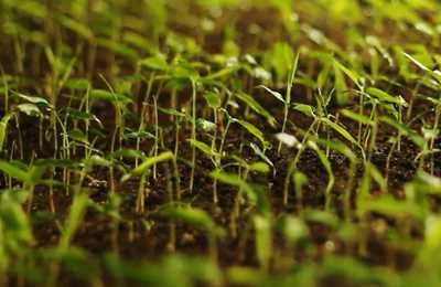 маленькие ростки