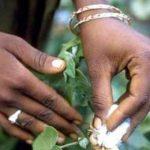 новый ГМО-хлопок в Африке