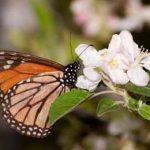 бабочка пьет нектар