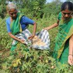 плохой урожай хлопка в Индии