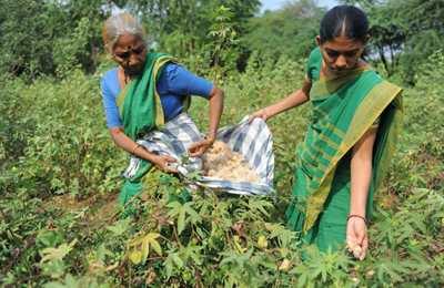 сбор хлопка индийскими женщинами