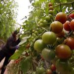 уборка томатов