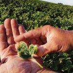 поврежденные листья сои
