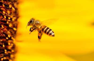 парящая пчела
