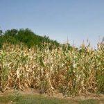 большое поле с кукурузой