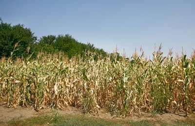 пиар кукурузы в Африке