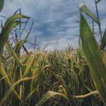 тучи над кукурузой