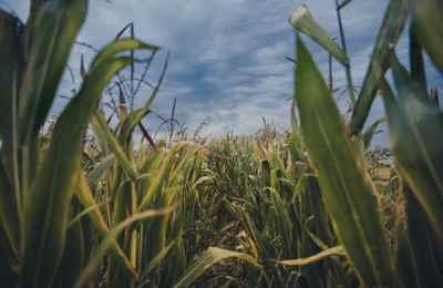 темные облака над кукурузным полем