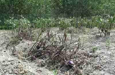 засохшие растения баклажана