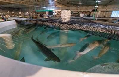 емкость с ГМО-лососем