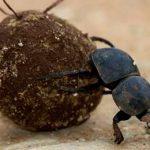 жук катит шарик