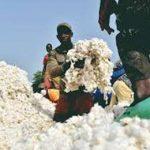 уборка хлопка в Нигерии