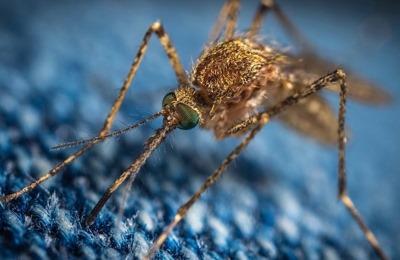 исследование малярийного комара