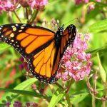 бабочка монарх в Америке