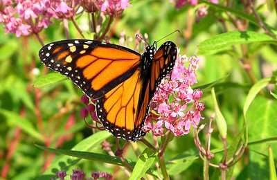 бабочка монарх на цветах
