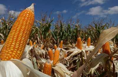 созревшая кукуруза в Пакистане