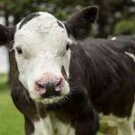 теленок без рогов