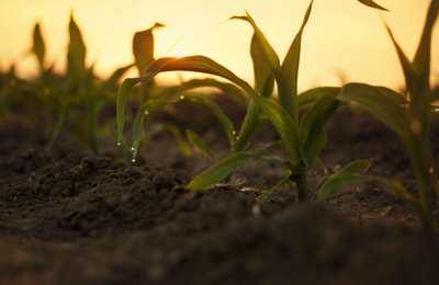 подрастающая кукуруза