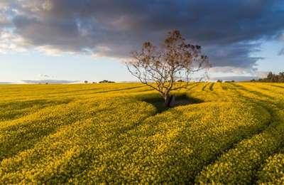 поле с ГМ-канолой в Австралии