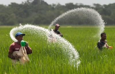 посев риса