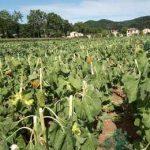 поле с вырубленным ГМО-подсолнечником