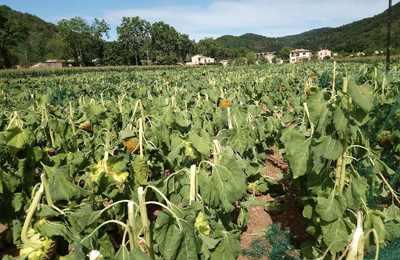 уничтоженный ГМО-подсолнечник