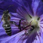 пчела сидит на цветке