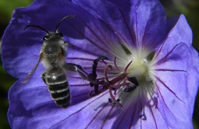 пчела прилетела на цветок
