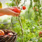 собираем томаты