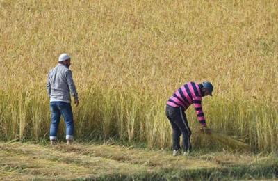 как собирают рис