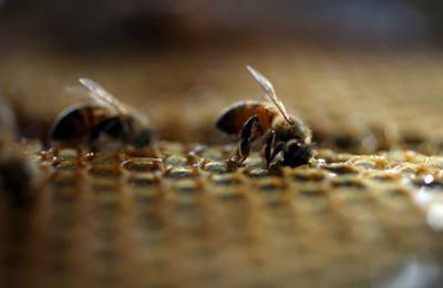 пчелы умирают
