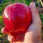 яблоки хранятся больше года