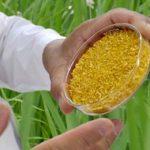 протесты против золотого риса в Филиппинах