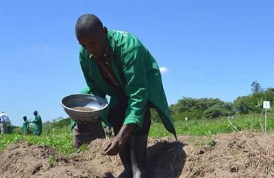 кениец сажает хлопок