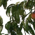 поврежденные персики
