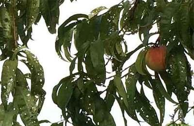 дикамба нанесла вред персикам