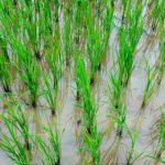 устойчивый к соленой воде рис