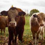 коровы с безрогостью